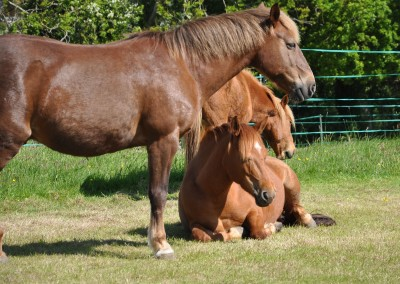 Bodster chestnut horses
