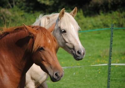 Bodster horses
